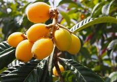Loquat Medlar fruit on the tree. Spain Royalty Free Stock Photo