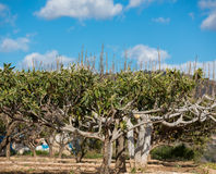 Loquat tree Royalty Free Stock Image