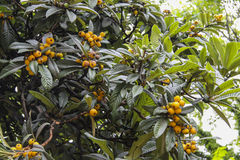 Loquat Tree Royalty Free Stock Photography