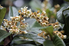 Loquat tree in bloom Royalty Free Stock Photography