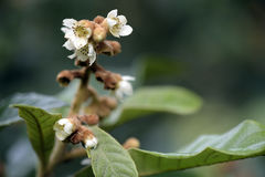 Loquat tree in bloom royalty free stock photos