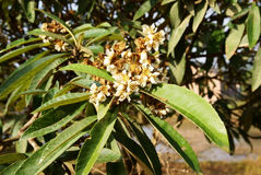 Loquat tree with flower Stock Image