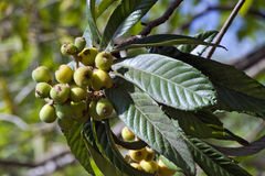 Loquat tree with mature fruits Royalty Free Stock Photo