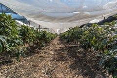 Loquat tree plantation. Loquat tree in a plantation Royalty Free Stock Photography