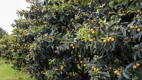 Loquat Tree Royalty Free Stock Photos