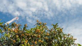 Loquat Tree Stock Images