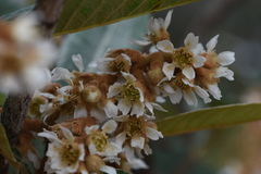 Loquatblüte Stockfoto