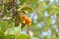 Loquatfrucht auf einem Baum lizenzfreie stockfotografie