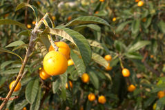 loquats Obrazy Royalty Free