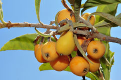 Loquats. Some loquats hanging on a branch Stock Photo