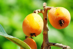 Loquats  on a branch Stock Photography