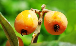 Loquats hanging on a branch stock photography