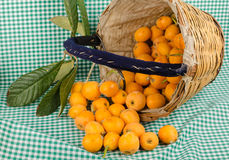 Loquats in harvesting basket Royalty Free Stock Photo