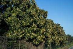 Loquatträd med frukter Royaltyfria Bilder