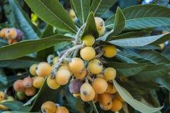 Loquatträd med frukter Royaltyfri Foto