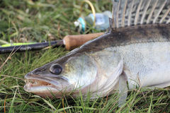 Loquet de pêche - zander photo stock