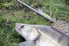 Loquet de pêche - zander photo libre de droits