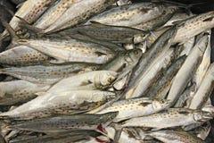 Loquet des poissons de maquereau espagnol photo libre de droits