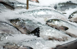 Loquet frais des saumons Photo stock