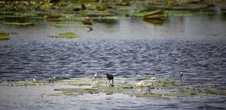Loquet tôt d'oiseau les vers de terre photographie stock