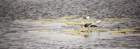 Loquet tôt d'oiseau les vers de terre Photo libre de droits