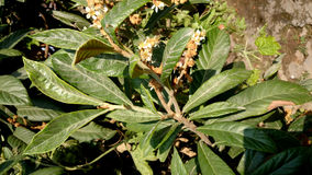 Loquot, Japanese medlar. Eriobotrya japonica, Tree with leaves white on underside, white flowers and yellow fruits, eaten raw royalty free stock images