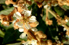 Loquot, Japanese medlar. Eriobotrya japonica, Tree with leaves white on underside, white flowers and yellow fruits, eaten raw royalty free stock photo