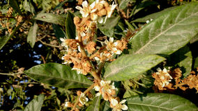 Loquot, Japanese medlar. Eriobotrya japonica, Tree with leaves white on underside, white flowers and yellow fruits, eaten raw stock photo