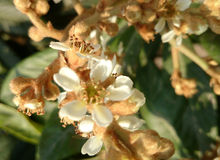 Loquot, Japanese medlar. Eriobotrya japonica, Tree with leaves white on underside, white flowers and yellow fruits, eaten raw royalty free stock photography