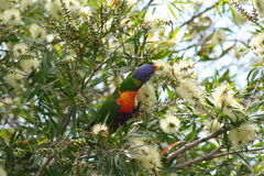 Lorakeet. In bottlebrush Stock Photography