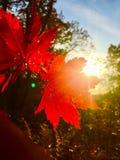 Leaf, autumn, red, beautiful, orange, sun, trees ,branch, maple Stock Photos