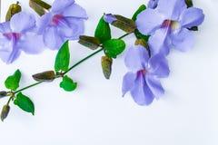 Lorbeer clockvine Blume lizenzfreie stockfotografie