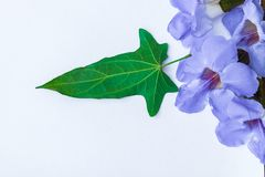 Lorbeer clockvine Blume stockfoto