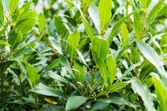 Lorbeer Laurus nobilis Lauraceae-Blattabschluß oben stockbild