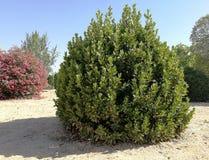 Lorbeer, Oleander und Bäume lizenzfreie stockbilder