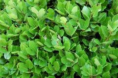 Lorbeer verlässt, Hecke von grünen Lorbeerbüschen Naturbeschaffenheit, Pflanzenhintergrund stockfotos