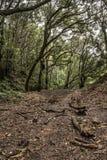 Lorbeerwaldn anaga ländlicher Park, Teneriffa stockfoto