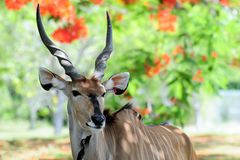 Lord Derby Eland Royalty Free Stock Image