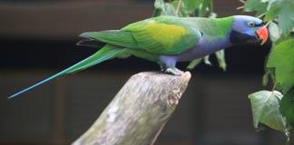 Lord Derby Parakeet royaltyfri foto