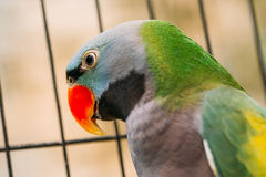 Lord Derby`s Parakeet Or Psittacula Derbiana, Also Known As Derbyan Parakeet. Close Up Of Lord Derby`s Parakeet Or Psittacula Derbiana, Also Known As Derbyan Royalty Free Stock Photography