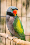 Lord Derby`s Parakeet Or Psittacula Derbiana, Also Known As Derbyan Parakeet. Wild Bird In Cage Royalty Free Stock Image