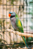 Lord Derby`s Parakeet Or Psittacula Derbiana, Also Known As Derbyan. Parakeet. Wild Bird In Cage Stock Photos