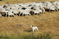 Lord and guardian. The sheepdog guiding the herd back to the fold Stock Image