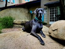 Lord of the manor. Great Dane dog royalty free stock photo