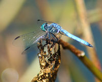 Lord of the Swamp. Close up of a Blue Dragonfly. Very sharp detail on the subject but very shallow dof stock images