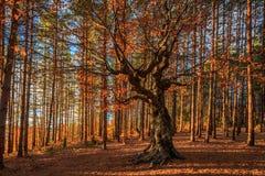 Lord van het bos Stock Afbeelding