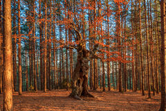 Lorden av skogen Royaltyfri Bild