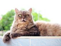 Lordly глаз от серого персидского кота Стоковые Изображения RF