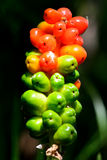 Lords-and-ladies (Arum maculatum) Royalty Free Stock Photos