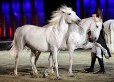 Lorenzo & beautiful horses performs at Bahrain Royalty Free Stock Photography